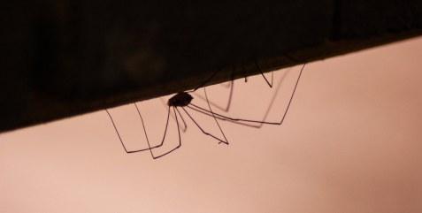 Spider - Cantabria, Spain (2017)